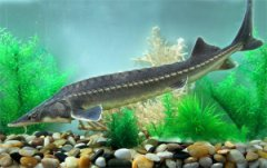 China releases 500 rare sturgeon bred in captivity